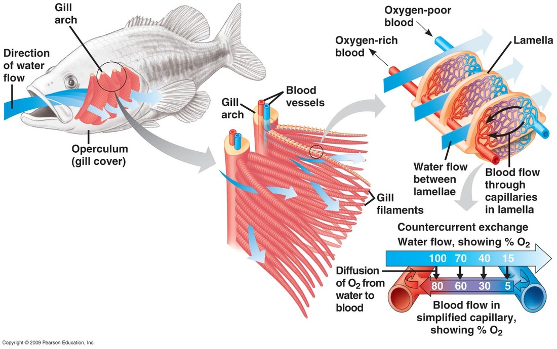 Using fish gill design to solve biomedical challenges for Arches related to breathing gills in fish